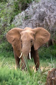 Red elephants walk in the savannah between the plants