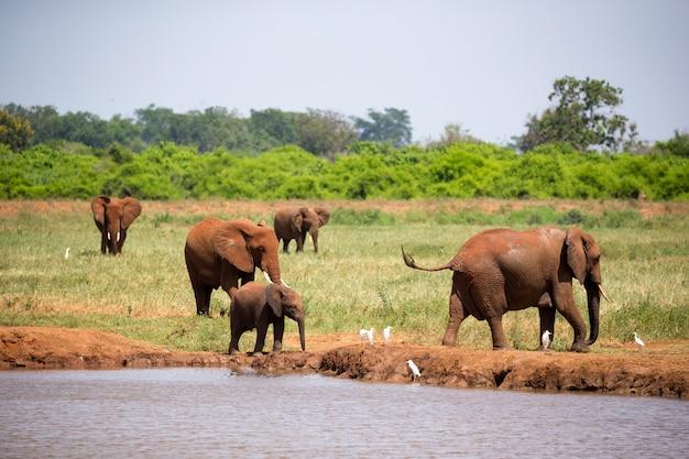 Red elephants on the waterhole in the savannah of kenya