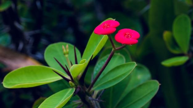 赤いユーフォルビアミリイの花、タイ、タオ島、ヴィンテージルック