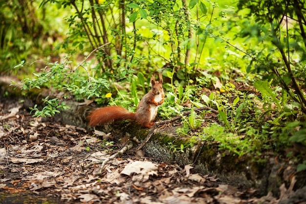 Red eurasian squirrel running in the park