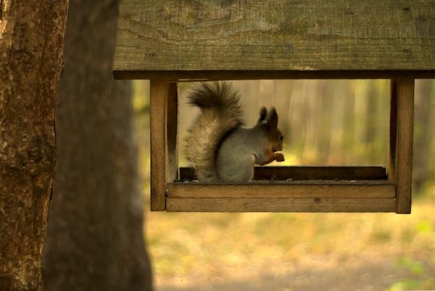 Красная евразийская белка сидит и ест в простой деревянной кормушке для птиц