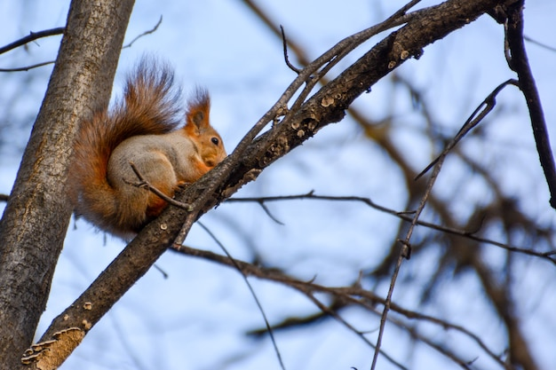 Red euroasian squirrel on the branch. curious squirrel in the autumn park.