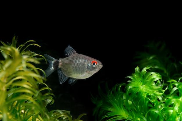 Красный глаз тетра рыба, изолированные на водных растений черном фоне