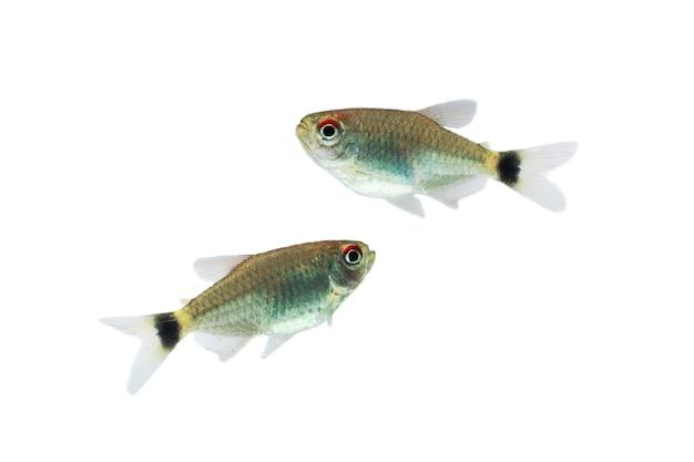 Красный глаз тетра рыба, изолированные на белом фоне