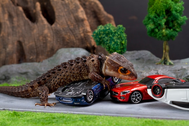 Red eyed crocoile skink with miniature car