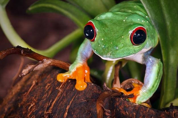 코코넛 요컨대에 빨간 눈 청개구리