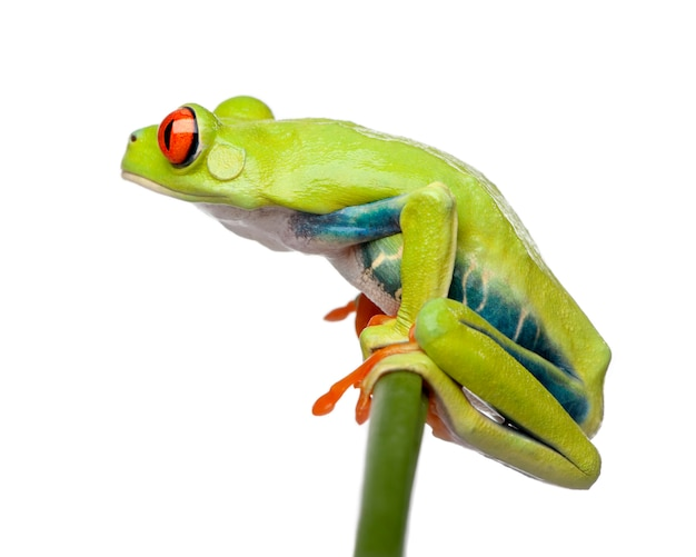 Red-eyed tree frog perched on grass, agalychnis callidryas,on a white isolated