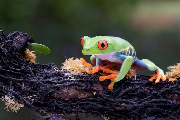 나뭇가지에 매달린 빨간 눈 청개구리
