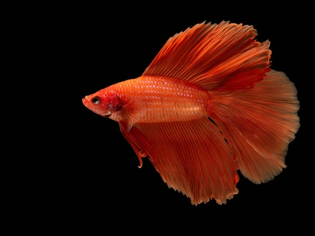 Red fighting fish, betta fish on black