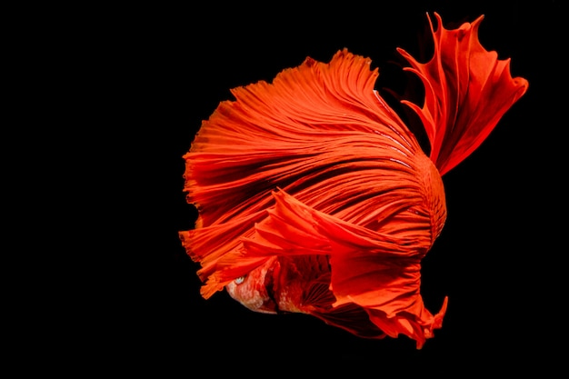 Red fired siamese fighting fish