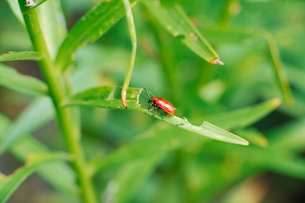 Красный жук-пожарник на листьях лилии