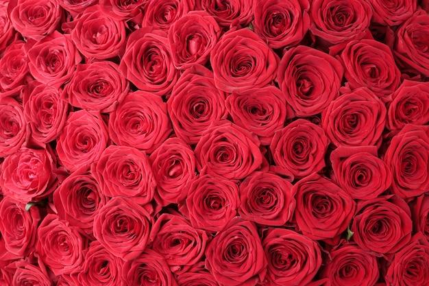 Красные цветочные розы фон. фон красных роз