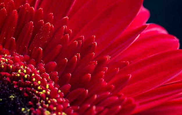 Красный цветок крупным планом макрос