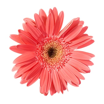 白い背景で隔離の赤い花ガーベラ
