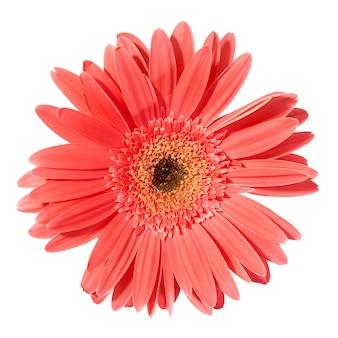分離された赤い花ガーベラ