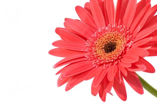 Red flower gerbera