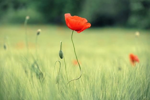 昼間の緑の芝生のフィールドの赤い花
