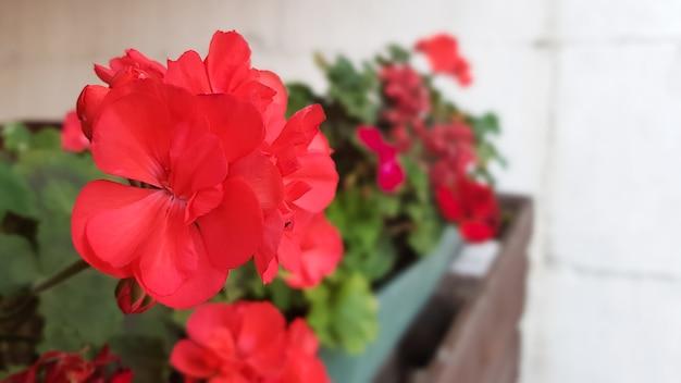 通りの庭の赤い花。セレクティブフォーカス、コピースペース。春のコンセプト。明るい晴れた日。
