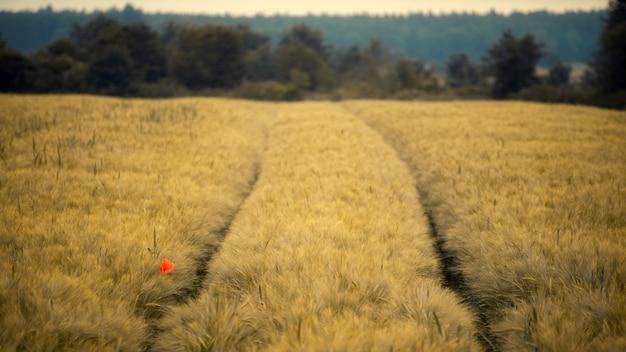 昼間の黄色いフィールドに赤い花