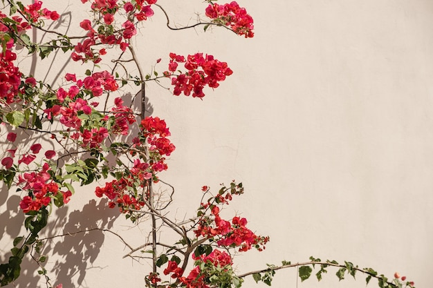 Red flowers on beige wall with sunlight shadows
