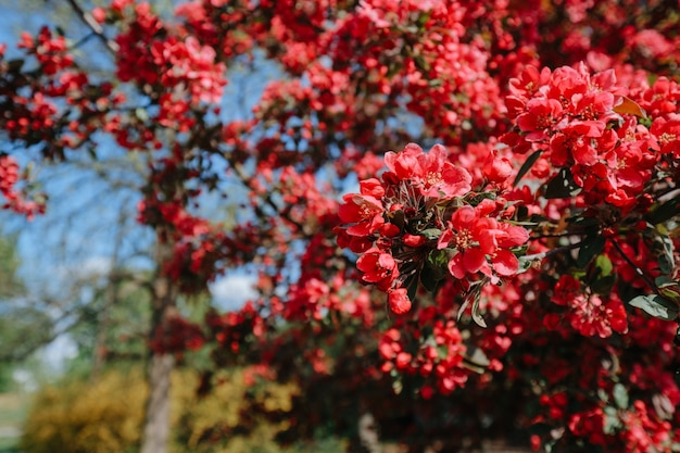 Red flowers of blossoming apple tree in spring park