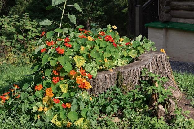 Красные цветы растут из старого деревянного пня. пень используют как декоративный цветочный горшок в солнечный летний день на зеленом лугу.