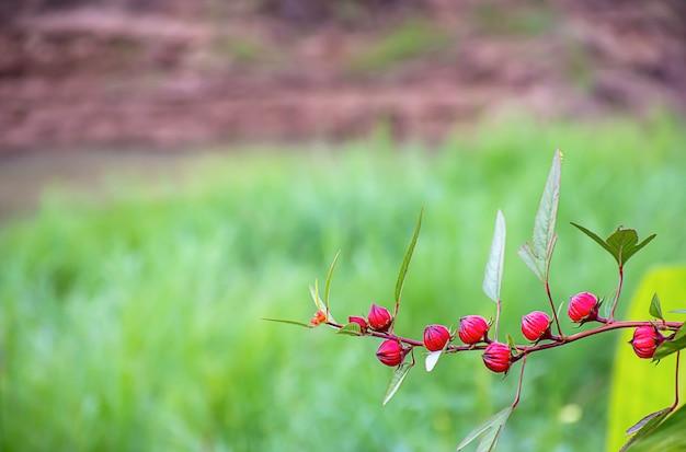 Red flowers or hibiscus sabdariffa background blurred leaves