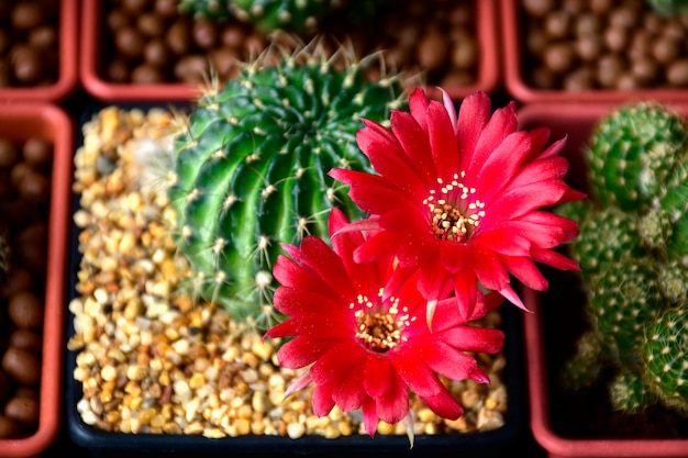 Red flowers of lobivia spp.