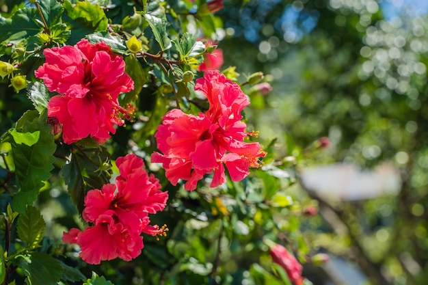 明るい夏の日に中国の赤い花が咲きました。種名-hibiscusrosa-sinensisl。