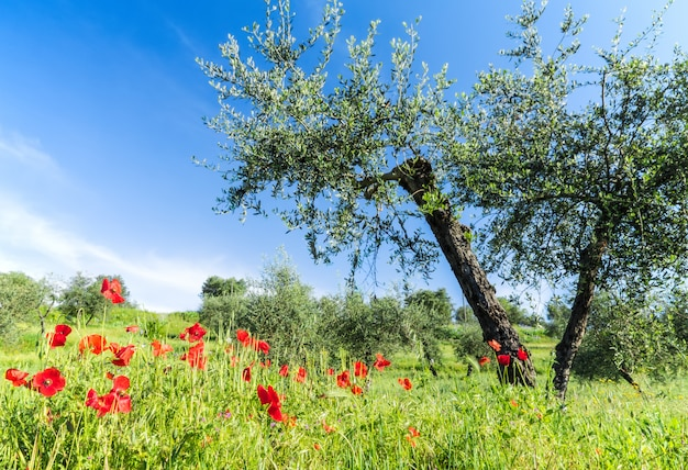 Red flowers and olive tree at spring