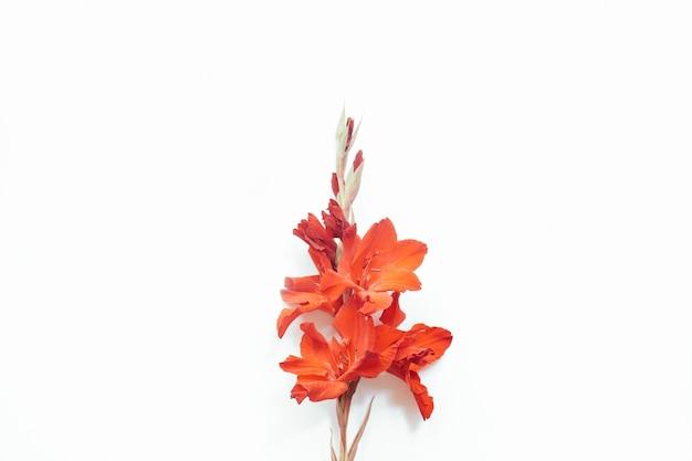 Красные цветы на белом фоне. композиция цветов. плоская планировка, вид сверху, копия пространства. лето, осень концепция.