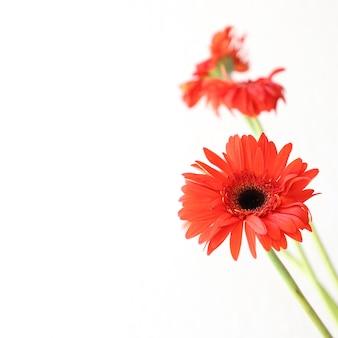 記念日、誕生日、ウェディング花飾りのための白い背景に赤い花