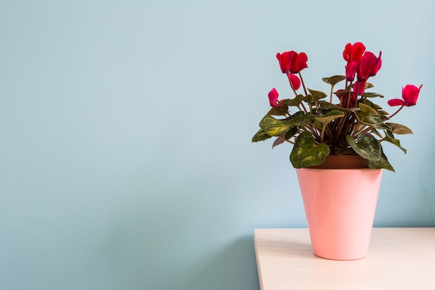 Red flowers in pink flowerpot with blue wall. colorful home interior abstract background texture copyspace for text