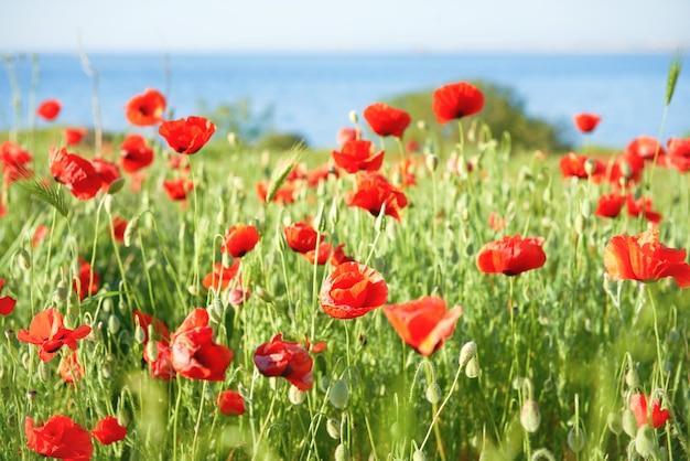 Красные цветы маки на поле с зеленой травой