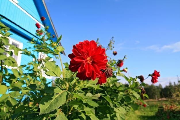 農村の建物の近くの赤いflowerses