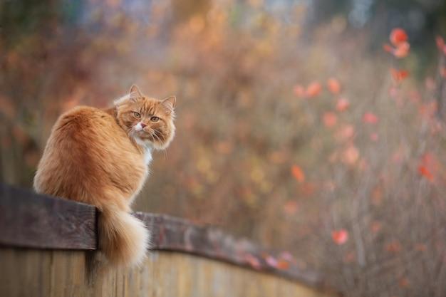秋の日に木の塀の上に横たわる赤いふわふわの猫。赤い葉の愛らしいボケ味。コテージコアの美学の概念。コピースペース