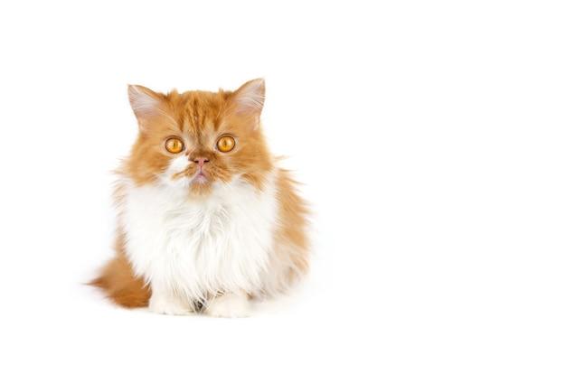 Красный пушистый кот на белой изолированной стене.