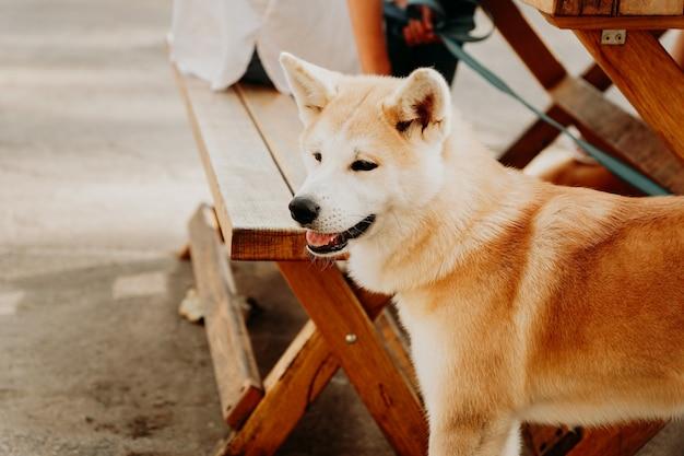 赤いふわふわの犬種秋田犬。木製のピクニックテーブルの背景に秋田犬。夏の日にペットと一緒に歩く
