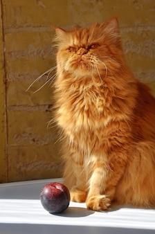 Красный пушистый толстый персидский кот и слива на белом столе