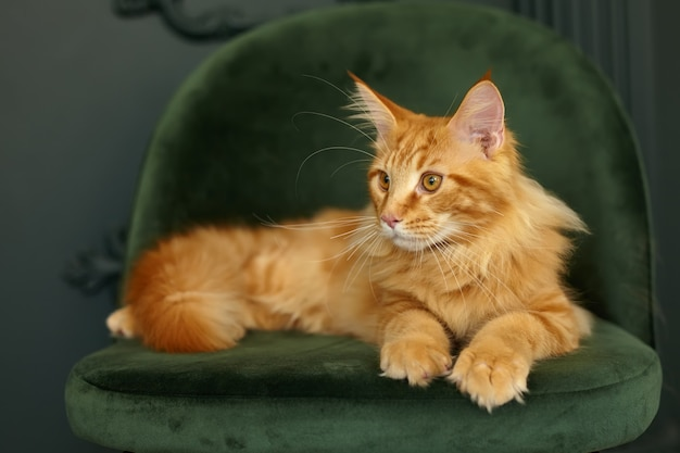 赤いふわふわメインクーン猫は緑のビロードの椅子に横たわっています