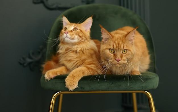 赤いふわふわメインクーン猫は緑のビロードの椅子に座っています