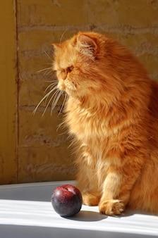 Красный пушистый персидский кот со сливой