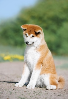 A red fluffy puppy of the akita inu breed sits on the ground. lovely dog