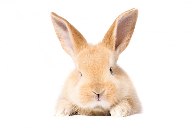 Red fluffy rabbit looks at the sign. isolated on white background easter bunny