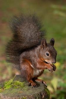 森の中の切り株に赤いふわふわリスがナッツをかじります。縦の写真。