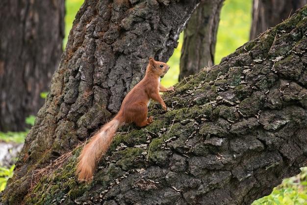 도시 공원에서 나무 줄기에 붉은 솜 털 다람쥐.
