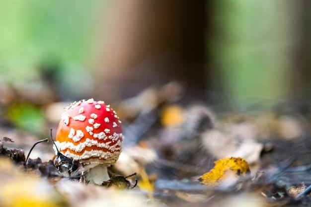 秋の森で育つベニテングタケ有毒キノコ。