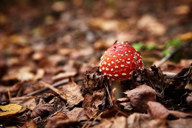 가을 숲 유독 한 버섯 amanita muscaria 근접 촬영에 빨간 비행 agaric