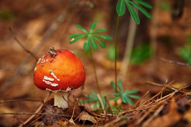 가을 숲에서 빨간 비행 거리 agaric. 독버섯