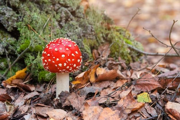 森で育つ赤いベニテングタケまたは毒キノコ